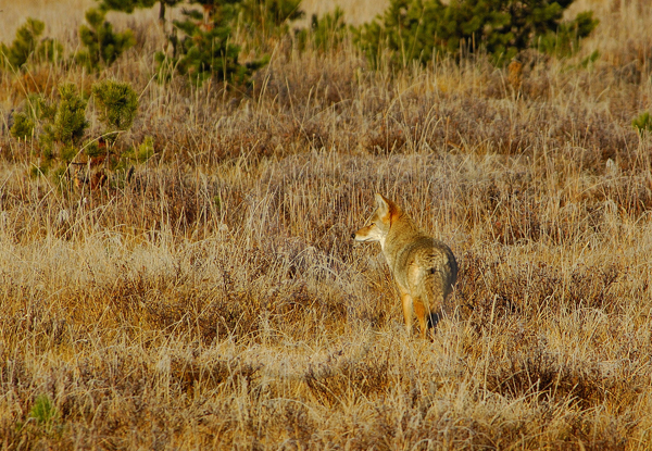 039_Yellowstone_Coyote