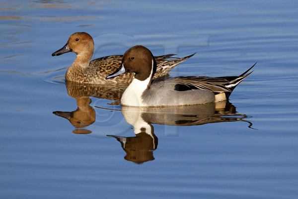 098_Pintails_Maryland